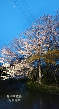 万部島の桜 ライトアップ.jpg