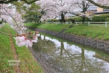 多布施川 桜並木.jpg