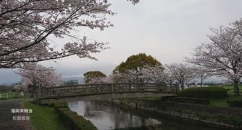 多布施川河畔公園 橋と桜.jpg