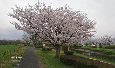 多布施川河畔公園 遊歩道に桜.jpg