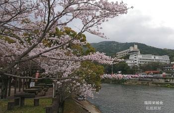 川上峡 川上川 鯉に桜.jpg
