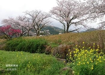 川上川 土手の桜と菜の花.jpg