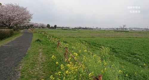 桜に菜の花、レンゲ畑.jpg