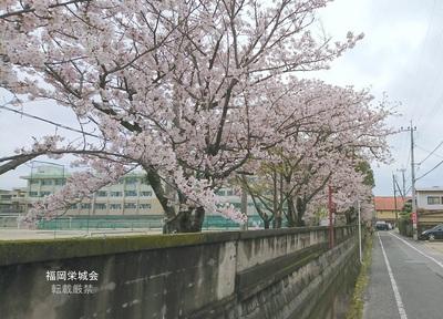 母校 校庭の桜 市道より.jpg