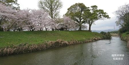 石井樋の桜.jpg