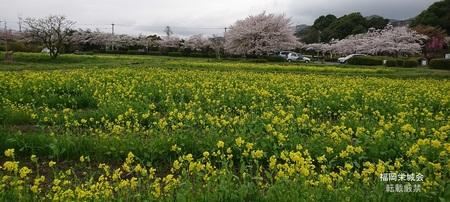 金立コスモス園 菜の花.jpg