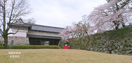 鯱の門、石垣に桜.jpg