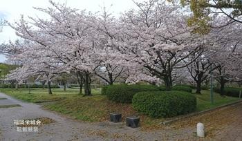 佐賀高等女学校跡の桜.jpg