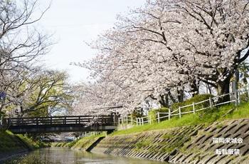 多布施川 桜.jpg