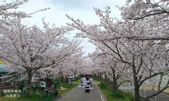 桜のトンネル 1.jpg