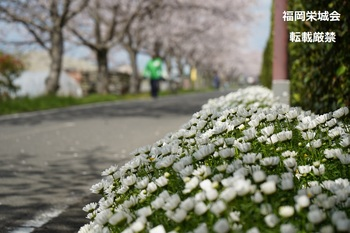 桜並木 道端の白い花.jpg