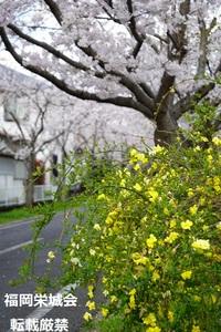 桜並木 道端の黄色い花.jpg