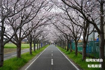 桜並木に自転車と歩行者.jpg