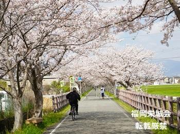 桜並木に自転車と歩行者 2.jpg