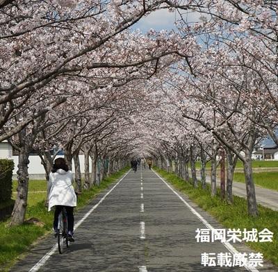 桜並木に自転車と歩行者 3.jpg