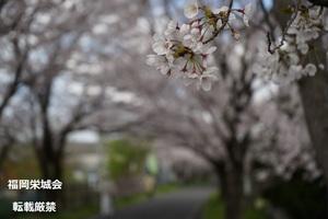 桜並木のソメイヨシノ.jpg