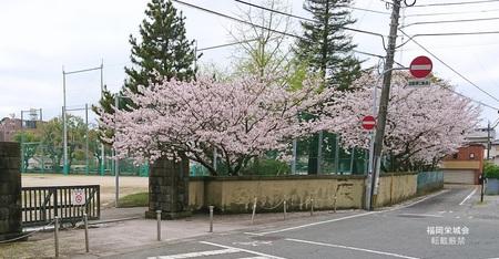 母校 校門の桜.jpg
