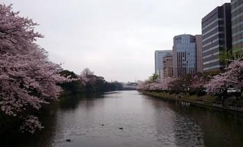 舞鶴お濠の桜.jpg